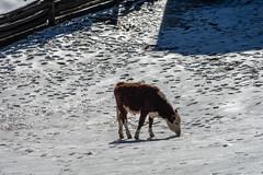 osv2019-1 (gtxjimmy) Tags: sonya7ii sony alpha a7ii mirrorless osv oldsturbridgevillage sturbridge massachusetts winter livinghistorymuseum newengland