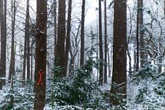 X (Jos Mecklenfeld) Tags: winter snow schnee sneeuw forest wald bos nature natur natuur nulbos westerwolde sonya6000 sonyilce6000 selp1650 sonyepz1650mm niederlande nederland terapel groningen netherlands nl x