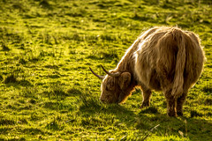 Shine on me! (Donna Hampshire) Tags: highlands highlandcow scotland cow farmanimals animal nature light donnarobinson donnahampshire canon highland cattle