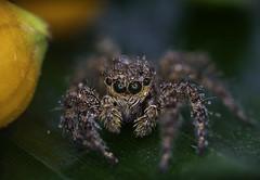 Jumping Spider with waterdrops (Gulfu) Tags: gulfu macro photography kerala jumping spider rain drops water macrophotography sugulu factorey