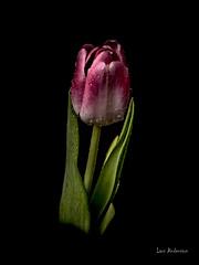 _61A0310 (fotolasse) Tags: blommorstudiontulpaner blommor flowers blad tulpaner sweden sigma 50mm canon studio light visico ttl5