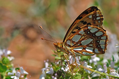 Issoria lathonia (Linnaeus 1758) (ajmtster) Tags: macrofotografía macro insecto ivertebrados mariposa mariposas lepidopteros nymphalidae ninfalidos issorialathonia sofia issoria lathonia butterfly butterflies amt