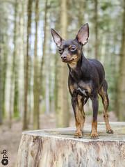 Ooligan des Bois. (Philippe Bélaz) Tags: ooligan pragois ratierdeprague animal animaux animauxdecompagnie bois brun chiens chocolat forêts
