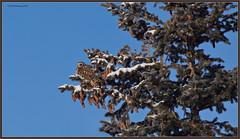 SEORest_6D_2401 (CrzyCnuk) Tags: shortearedowl owl alberta canon canon6d wildlife seo birdsofprey