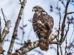 Schulterblick (cfowallburg) Tags: accipitergentilis accipitridae accipitriformes habicht greifvogel