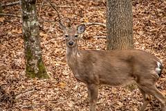 DILO - March 20 2019 Equinox (17) (tommaync) Tags: dilomar2019 equinox spring 2019 march nikon d7500 northcarolina nc dilo nature animals wildlife deer trees doe