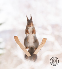 Red squirrel is standing on skis with open mouth (Geert Weggen) Tags: squirrel red animal backgrounds bright cheerful close color concepts conservation culinary cute damage day earth environment environmental equipment love valentine photo winter snow openmouth ski sport wintersport bispgården jämtland sweden geert weggen hardeko ragunda