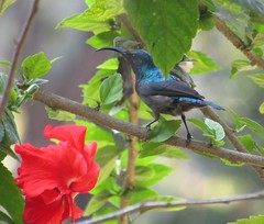 IMG_5774 pic by my daughter (belight7) Tags: sunbird hibisucs flower homestay india gokarna south travel