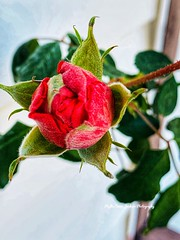 Star Bud. (Jack4Phil) Tags: bloom blooming outdoors plant bud rose red