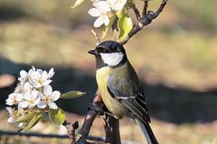 Primavera - Spring (Marcello Giardinazzo) Tags: cinciallegra parusmajor primavera spring natura avifauna birds uccelli