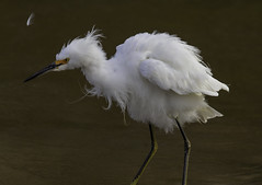 Shake it Off (raineys) Tags: snowyegret bird nature wildlife santacruz california specanimal