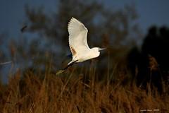 (Enllasez - Enric LLaó) Tags: martinetblanc garcetacomún aves aus bird birds ocells pájaros 2019 torredendolça
