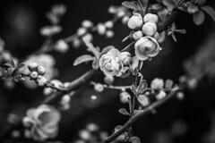 Dans le jardin des mots. (Un instant.) Tags: rosiers ruisseau jardin hmbt bnw monochrome tuesday 85mm