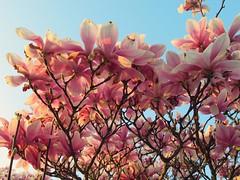 Magnolia (STEHOUWER AND RECIO) Tags: magnolia flowers flora pink light magnolioideae flower blossom blossoms nature garden canon powershot sx620hs spring lente bloemen bloem roze