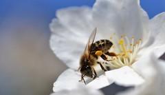 honey bee on Prunus serrulata 'Taihaku' (conall..) Tags: rowallane national trust saintfield garden northernireland nikon afs nikkor f18g lens 50mm prime primelens nikonafsnikkorf18g closeup raynox dcr250 macro bee honeybee apis mellifera apismellifera pollination flower pollen load pollenload colour yelloworange desenfoque outoffocus narrow dof selective focus prunus taihaku prunustaihaku serrulata prunusserrulata