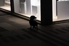 Dackel Shopping (Coquine!) Tags: christianleyk italy italia italien tuscany toskana lidodicamaiore dackel dachshund dog hund windowshopping night nacht window schaufenster