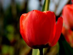 Sezon na tulipany. (andrzejskałuba) Tags: poland polska pieszyce dolnyśląsk silesia sudety europe natura nature natural natureshot natureworld niebo nikoncoolpixb500 sky niebieski zieleń green garden ogród macro color czerwony red roślina plant kwiat flower flora floral tulip tulipan wiosna spring 100v10f 1000v40f 1500v60f