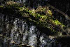 Spring Color (elpeterso69) Tags: heronhaven landscapes nature naturephotography photography photoart photograph photo picture flora floral leaves flower flowers plant fungus plants omahane midwest nebraska dsc0017 lake pond wetland aquatic iowa springcolor elpeterso69