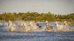Splashes (Xtian du Gard) Tags: xtiandugard horses chevaux splashes eclaboussures chevauchée camargue provence nature water animaux france