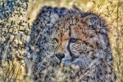 Cheetah in the grass. (SuzieAndJim) Tags: africa suzieandjim nature harnas namibia cat bigcat cheetah
