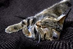 Séance photo avec Tigrette   1 (Evim@ge) Tags: chat cat pet cute mignon tigré « animal de compagnie » intérieur intérior