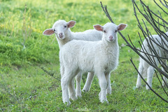 Dolcezza lanosa (Francesca Murroni ┃Wildlife Photographer) Tags: agnellini lambs sweetness naturecaptures fauna animals animali animalslovers animalcaptures fotografianaturalistica wildlifephotography wildlife ovines sulcis sardegna italy