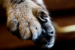 Sasha's Claw (Fred Merchán) Tags: cat chat gato minou kitteh paw claw lensbabyvelvet56