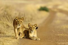 Curiosity killed the cat (Jonas Van de Voorde) Tags: lions cubs pendjari benin westafrica safari wildlife nature animals jonasvandevoorde pantheraleo