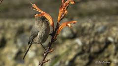 Bushtit (Bob Gunderson) Tags: birds bushtit california chickadeesnuthatchestitmice fortmason northerncalifornia psaltriparusminimus sanfrancisco