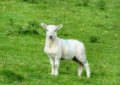 Scottish Spring Lamb (Michelle O'Connell Photography) Tags: scotland farmanimals farming scottishlamb lamb springlamb kerrera natureandwildlife nature michelleoconnellphotography