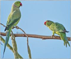 'எதுவானாலும் பேசித் தீத்துக்கலாம்' (Ramalakshmi Rajan) Tags: roseringedparakeet parakeet parrots parrot birds bird nikon nikond750 nikkor70300mm inmygarden
