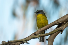 Eastern Yellow Robin : Checking on the photographer (Derek Midgley) Tags: dsc0018 eastern yellow robin eopsaltria australis sb