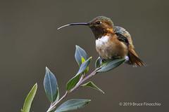 Male Allen's Hummingbird With Tongue Partway Out (brucefinocchio) Tags: maleallenshummingbird allenshummingbird tongueparkwayout hummingbird bird avian selasphorussasin ucscarboretum santacruz