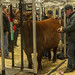 Prep work prior to a visit to the show ring, Agribition, Regina