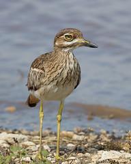 Water Thick-knee (leendert3) Tags: leonmolenaar southafrica krugernationalpark wildlife nature birds waterthickknee ngc coth5 npc