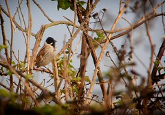Reed Bunting (male) in the brambles (johnlauper) Tags: reedbunting bird nature wildlife westlangney eastbourne eastsussex bunting