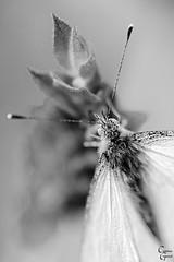 mariposa-lavanda b/n (Catalina Ginard) Tags: mariposa lavanda blancoynegroccampo