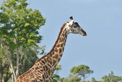 DSC_0865 (_Alem_) Tags: africa kenya masai mara safari giraph colours sun picture animals