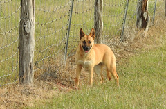 Farm Dog (pamfromcalgary) Tags: texas kingranch pamhawkes animal canine dog