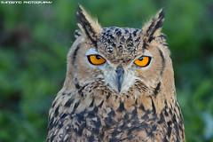 Eurasian eagle owl - Falconry fair (Mandenno photography) Tags: animal animals dierenpark dierentuin dieren falconry fair falconryfair bird birds birdofprey owl owls ngc nature nederland netherlands tilburg eurasian eagle eagleowl