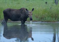 Moose...#5 (Guy Lichter Photography - 4.4M views Thank you) Tags: canon 5d3 canada manitoba rmnp wildlife animal animals mammal mammals moose