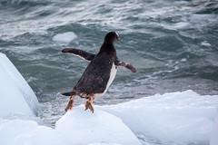Leap of Faith! (Linda Martin Photography) Tags: gentoopenguin wildlife antarcticpeninsula nature bird penguin antarctica pygoscelispapua nekobay coth naturethroughthelens coth5 ngc alittlebeauty npc