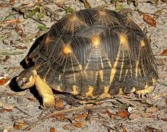 Endangered Tortoise (Darts5) Tags: radiatedtortoise tortoise turtle turtles nature animal 7d2 7dmarkll 7dmarkii 7d2canon ef100400mmlll closeup canon7d2 canon7dmarkii canon7dmarkll canonef100400mmlii canon