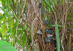 Dynamine postverta (Cramer, 1779) (Marquinhos Aventureiro) Tags: dynamine postverta nymphalidae wildlife vida selvagem natureza floresta brasil brazil hx400 marquinhos aventureiro marquinhosaventureiro