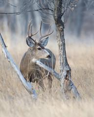 Mule Deer-29 (trdunn) Tags: muledeer colorado weldcounty wildlife animal easternplains nature buck fall antlers
