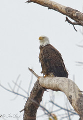 Bald Eagle (TomLamb47) Tags: nature wildlife bird bald eagle baea tree fruitland park florida fl canon 7d2 100400mm