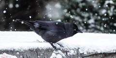 Bird - 6411 (ΨᗩSᗰIᘉᗴ HᗴᘉS +42 000 000 thx) Tags: bird black blackbird oiseau nature snow fence hff choucas choucasdestours belgium europa aaa namuroise look photo friends be wow yasminehens interest eu fr greatphotographers lanamuroise flickering sonydscrx10m4