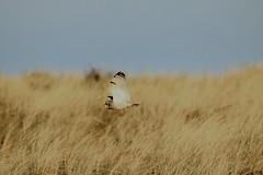 IMG_4505 (monika.carrie) Tags: monikacarrie wildlife scotland forvie shortearedowl seo