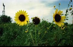 Oklahoma Sunflowers (Stabbur's Master) Tags: oklahoma sunflower flowers blooms windmill abandonedwindmill brokenwindmill oklahomawindmill oklahomasunflower abandoned