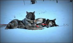 repos après la course ! (Save planet Earth !) Tags: chien finland dog animal laponie nikon amcc winter hiver